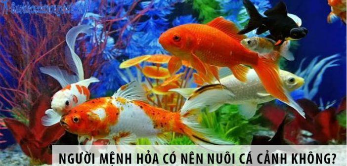 Người mệnh Hỏa có nên nuôi cá cảnh không?