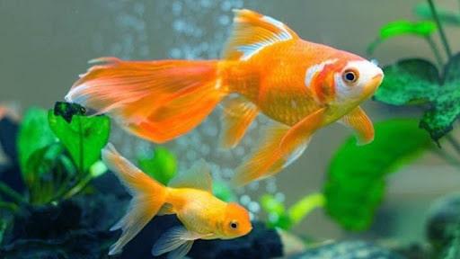Cá vàng mang ý nghĩa tài lộc, thịnh vượng