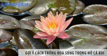 Gợi ý cách trồng hoa súng trong hồ cá Koi
