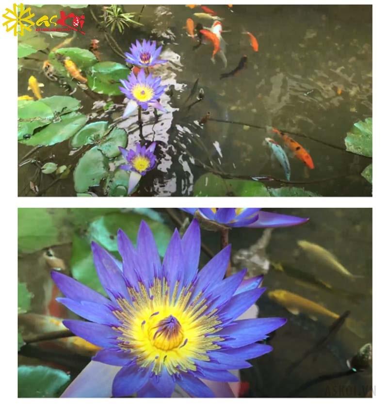 Hoa súng trồng trong hồ cá Koi