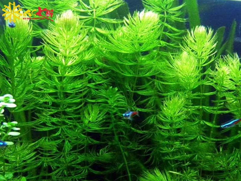 Cây rong đuôi chồn thích hợp cho hồ cá Koi