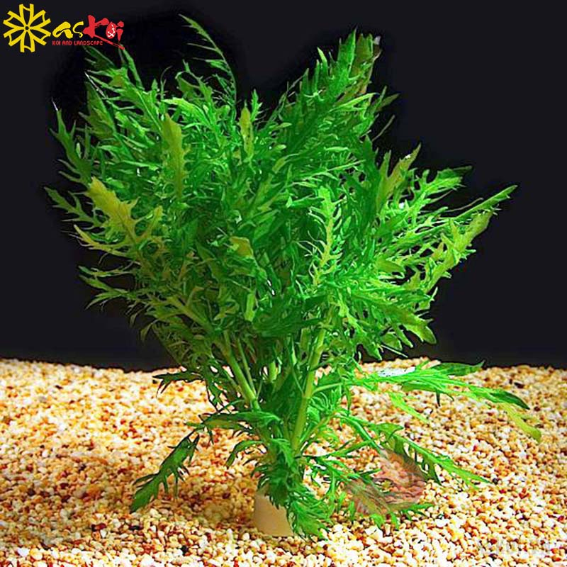 Thủy cúc cũng là một loại cây thủy sinh có thể trồng trong hồ koi